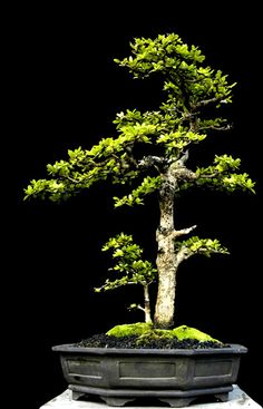 The Art of Bonsai. Robert Steven Here is another Bucida From common nursery material Robert brought from Puerto Rico. Sometimes, combinations of simple material can give interesting impact.