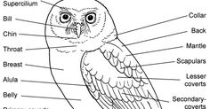 General overview of owl physiology including labelled diagrams