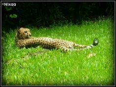 #cheetah #spots