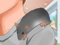 How to Shoulder Train a Pet Rat. Having a pet rat can be a rewarding experience, as rats are intelligent and affectionate creatures. You might be surprised to learn that you can train a rat to do all sorts of impressive things. Rat Cage Diy, Pet Rat Cages, Animal Room, My Animal, Rat Cage Accessories, Rat Care, Shoulder Training, Rat Toys, Rare Animals