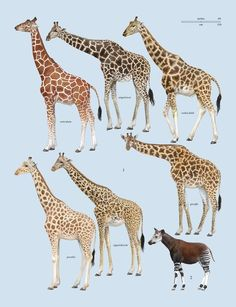 "Family Giraffidae (Giraffe and Okapi) - plate from ""The Handbook of Mammals of the World Volume 2"""