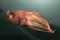 Vampire squid | Deep-Sea Creature Photos -- National Geographic