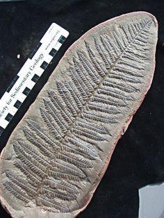 Vegetales: Pecopteris serpilifolia - Carbonífero (300 ma.)