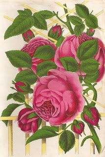Antique Images: Free Pink Rose Graphic: Vintage Rose Clip Art Queen of Prairies