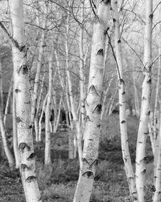 Birch Trees black and white 8x10 photo print - nature photography picture woods fine art home decor