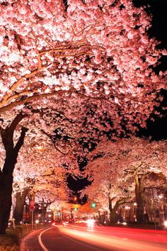 Cherry Blossom in Kintai Bridge, Iwakuni Japan