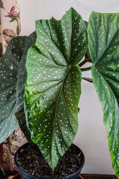 Enkelinsiipi: kasvatus, hoito ja lisäys   Meillä kotona Begonia, Diy Flowers, Houseplants, Garden Plants, Plant Leaves, Flora, Bouquet, Pretty, Green