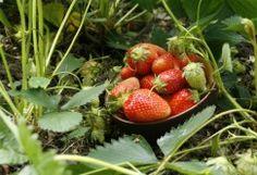 12 conseils pour réussir ses fraisiers