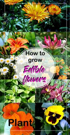 Essbare Blüten How to Grow Edible Flowers Edible Plants, Edible Flowers, Edible Garden, Colorful Flowers, Beautiful Flowers, Exotic Flowers, Purple Flowers, Organic Gardening, Gardening Tips