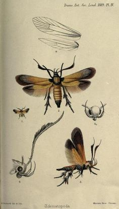 Plate from 'Micro-Lepidoptera' ( first published 1881). Six articles by Lord Walsingham. archive.org