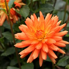 'Andries' Orange' dahlia, 1936 – Simple yet extraordinary, this charming dahlia became an instant favorite when it first bloomed here – and bloomed and bloomed and bloomed. #OldHouseGardens