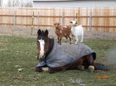 """Winning Caption: """"They said a massage would help my back, but I'm not so sure…"""" - Lizzie B. Courtesy of our friends at Hahahorses.com."""