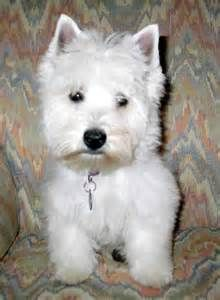 westie printables - Yahoo Image Search Results