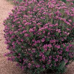 Texas Ranger- drought hardy; full sun; 5-8 ft