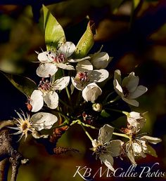 This is a photo of a wild Bradford Pear tree blooming.  I'm afraid we had a bout of cold weather and some of the blooms died.  But that is how it goes when you live in Tennessee.