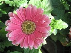 How to Get Gerbera Daisy Seeds From the Flower thumbnail
