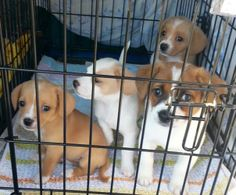 Beagle & Chihuahua Mix