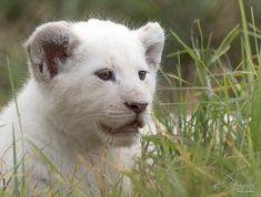 White Lion  -  WILDLIFE   HGrieselphotography