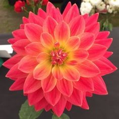 Kilburn Rose