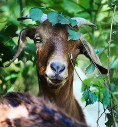 #goatvet likes this photo of Landscaping Goats in Utah