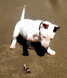 #Bull #terrier pup found a new friend