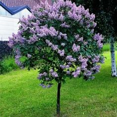 Lilac Trees, incredibly fragrant and attractive small trees. These look alot easier to maintain than the bushes! Could this be the Miss Kim standard