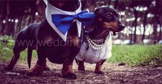 Dog wedding dress, dog special occasion sweater, in white by CUTIEDOG on Etsy https://www.etsy.com/listing/223725685/dog-wedding-dress-dog-special-occasion