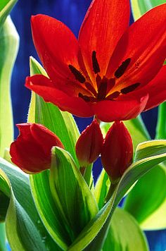 Flowers...Flowers...Flowers...Tulip