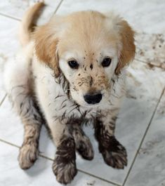"""Don't worry mom, I'm just so excited to see you I ran all through the house with muddy feet!"" hee hee puppy fun"