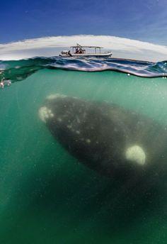 Baleias-Francas em um momento incrível