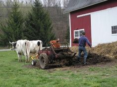 WORKING OXEN ON THE FARM TODAY