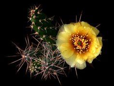 "Opuntia fragilis (Nuttall) Haworth 1819 ""forma 111"" - ex Kiessling min.temp.-40°C/-40°F full sun, yellow flower, red at base, alkaline soil"