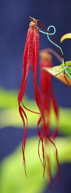 Bulbophyllum plumatum Ames        =Bulbophyllum jacobsonii         =Rhytionanthos plumatus