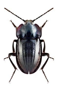 Heterotemna simplicicornis