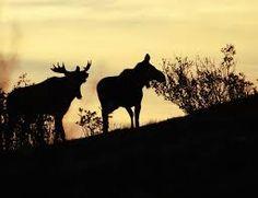 Bilderesultat for elgbilder Moose Art, Animals, Pictures, Animales, Animaux, Animal, Animais