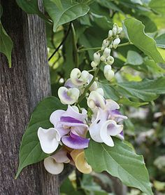 Corkscrew Vine Vigna Seeds and Plants, Annual Flower Garden at Burpee.com