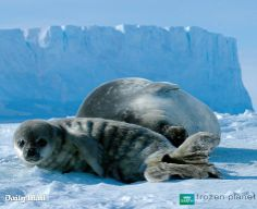 From Sir David Attenborough's Frozen Planet series Seal Pup, Baby Seal, Cute Seals, Funny Animals, Cute Animals, Cute Animal Photos, Planets, Frozen, Poster
