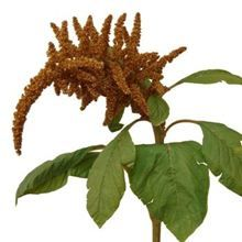 Amaranthus Hot Biscuits