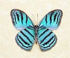 butterflies of peru - Yahoo Image Search Results