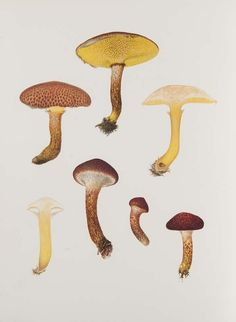 Icones Farlowianae. Illustrations of the larger fungi of Eastern North America. Chromolithographs. Cambridge (Massachusetts), The Farlow Library and Herbarium of Harvard University 1929.
