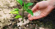 A szer, amit szinte senki sem ismer, pedig csodákra képes a kertben! Plants, Gardening, Creative, Lawn And Garden, Plant, Planets, Horticulture