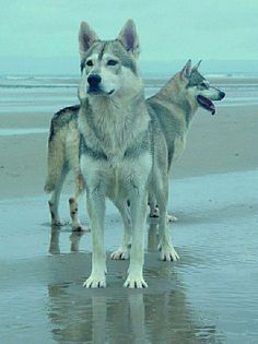 northern inuit dogs ... yes, dogs, not wolves #animals