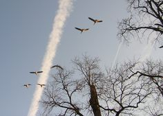 jet streams and geese