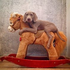Weimaraners - I just couldn't resist this picture. The article is good too