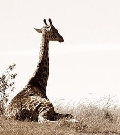 Giraffe Resting Photograph By Joani White Can Be Custom Sized and Framed
