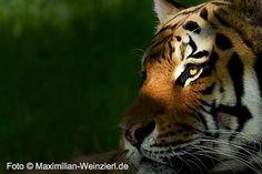 Maximilian Weinzierl – Fotografie – Blog: Tiger - Training