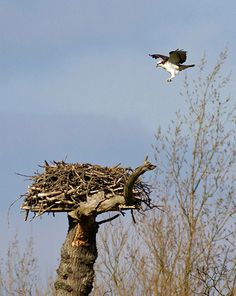 Rutland Water this week welcomed back its first ospreys of the year. Field officer John Wright was able to capture the precise moment when this male osprey returned to his nest after a long migration from his west African wintering grounds. He started rebuilding his nest almost immediately, in anticipation of the arrival of his mate.