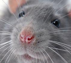 Ratty snozz!