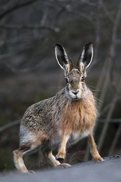 "Hare: ""Hair-Raising!"" ~ Thrilling to See A Hare in The Wild! (Photo By: Anette Holmberg.)"