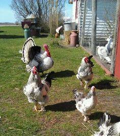 my royal palm turkey and brahma chickens- Hawk Valley Garden Spencer, Iowa- Quail Coop, Duck Coop, Light Brahma Chicken, Laying Hens, Thanks Mom, Farm Yard, Poultry, Garden Sculpture, Palm